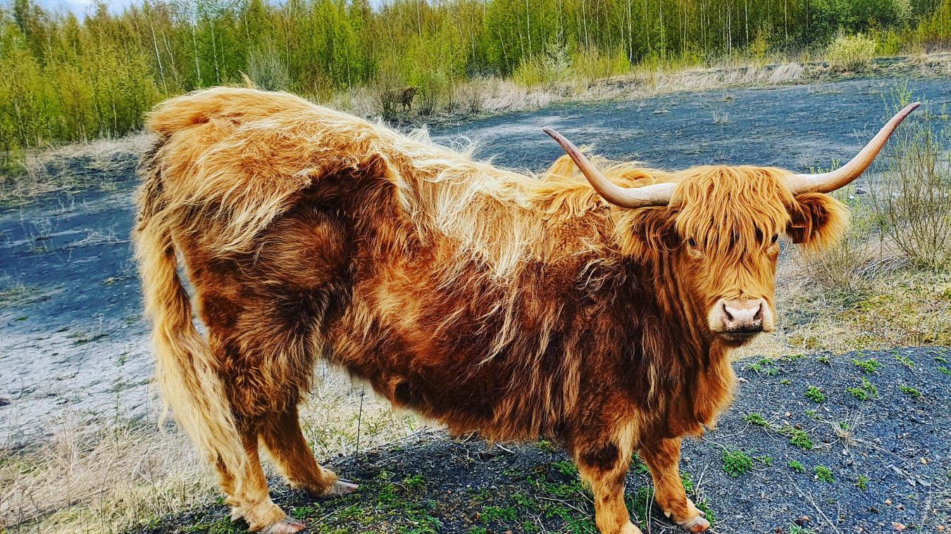 Les highland haillicourtoise se laissent prendre en photo sans problème.