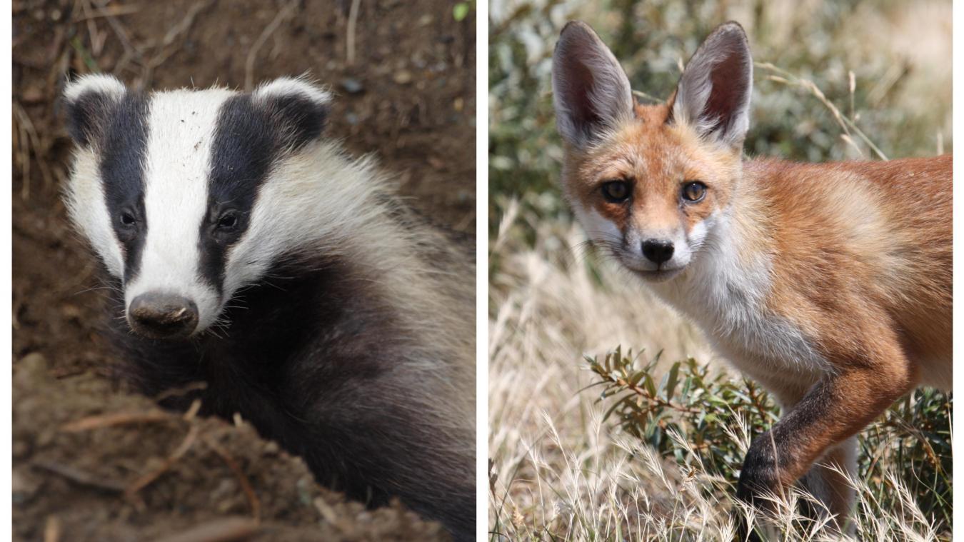 Le préfet du Pas-de-Calais avait signé en 2018 un arrêté qui autorisait une battue administrative aux renards et aux blaireaux.