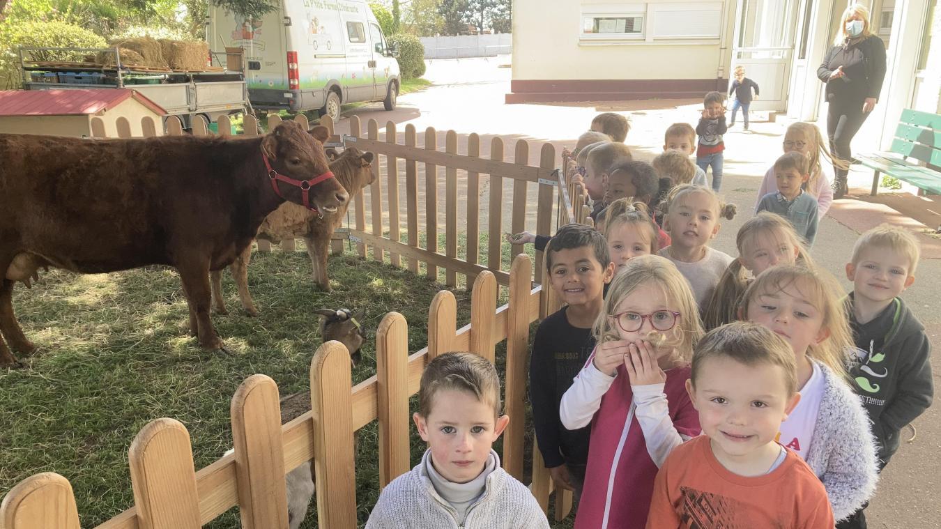 Une vache et son veau dans la cour de l'école ont amusé les enfants de la maternelle Les Mouettes.