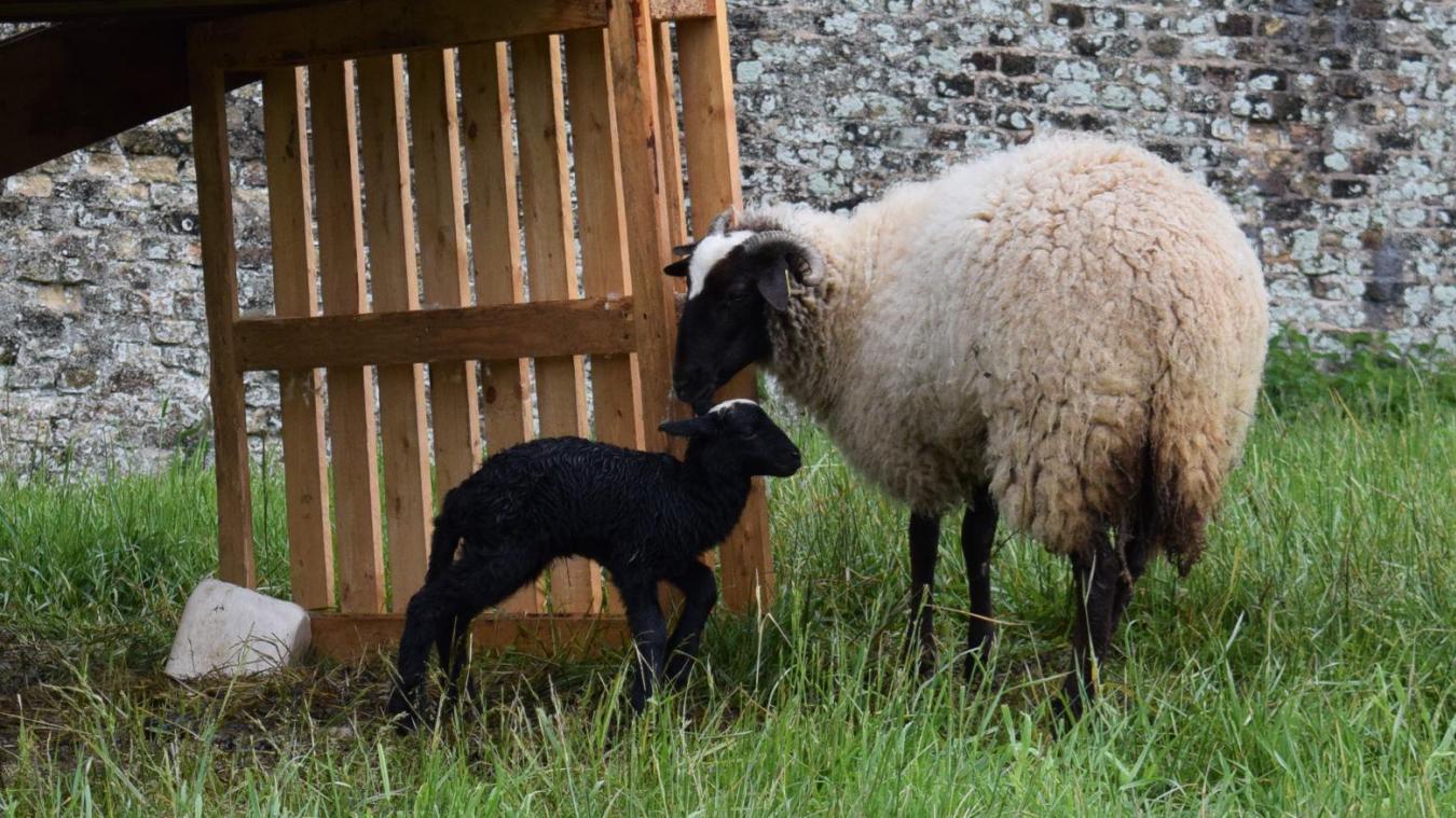 Le petit agneau de quelques jours ne lâchent pas sa mère d'un sabot!
