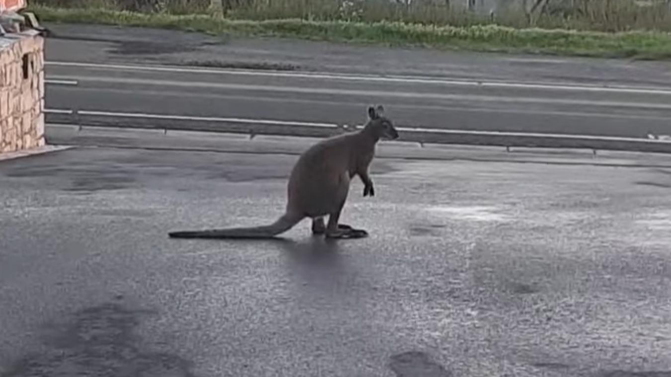 Les propriétaires du wallaby en vadrouille sont au courant.