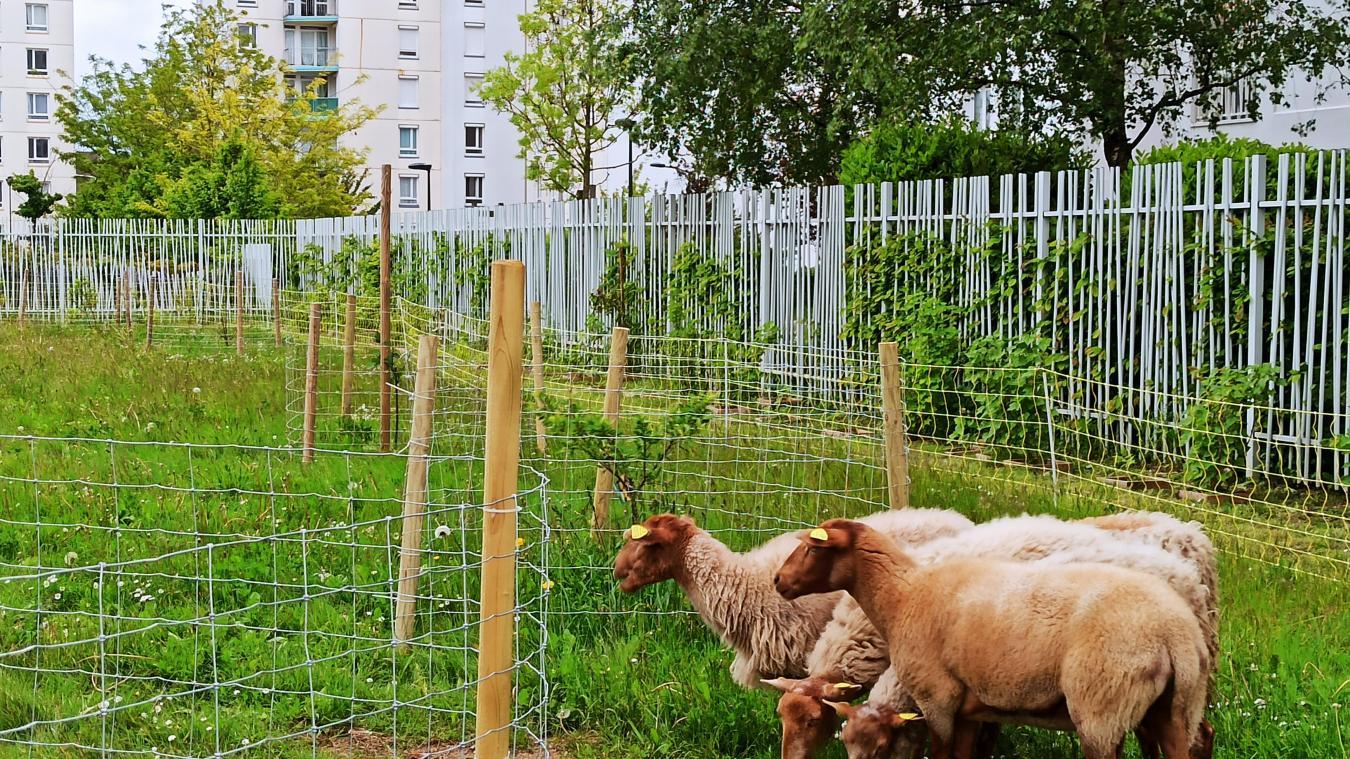C'est dans ce verger, au pied des HLM, que se sont installées les brebis. De quoi amener un peu de vie animale dans cette zone urbaine.