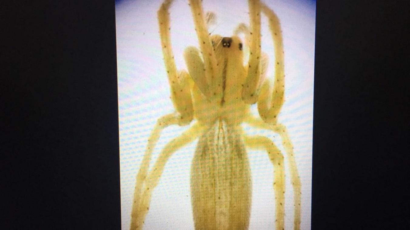 Une nouvelle espèce d'araignée découverte récemment à Saint-Josse.