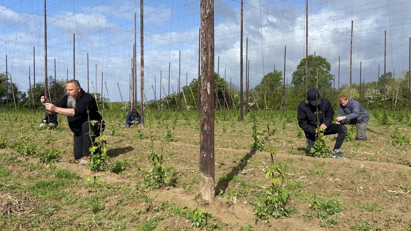 Toute la matinée, les saisonniers ont enroulé les pousses de houblon sur le fil tuteur dans un des champs d'Yvon Pruvost, à Boeschèpe.