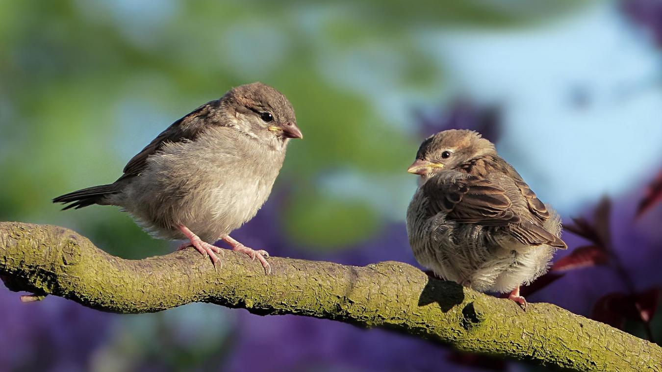 D'après la Ligue pour la protection des oiseaux (LPO) environ 40 000 oiseaux seraient capturés par 5 000 chasseurs avec cette technique par an en France.
