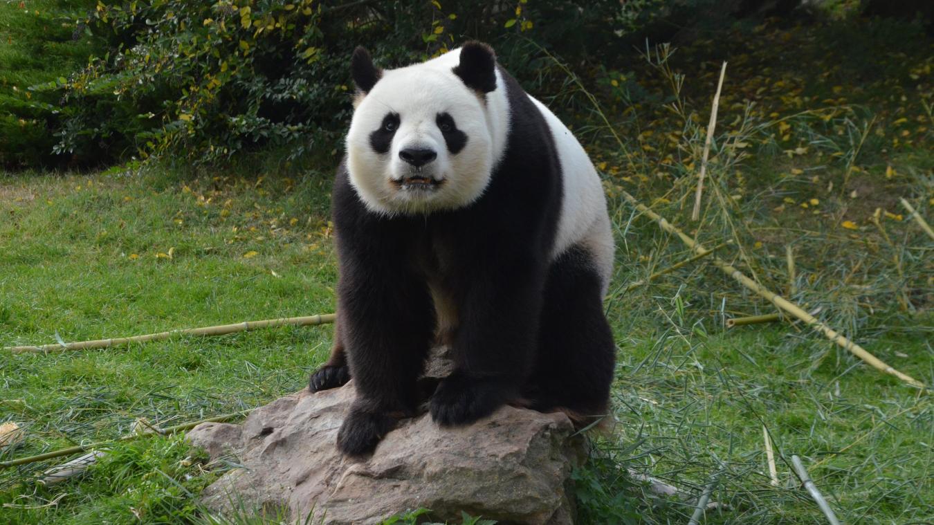 Les pandas géants sont notoirement difficiles à faire reproduire, les femelles ne pouvant devenir enceintes que 24 à 72 heures par an