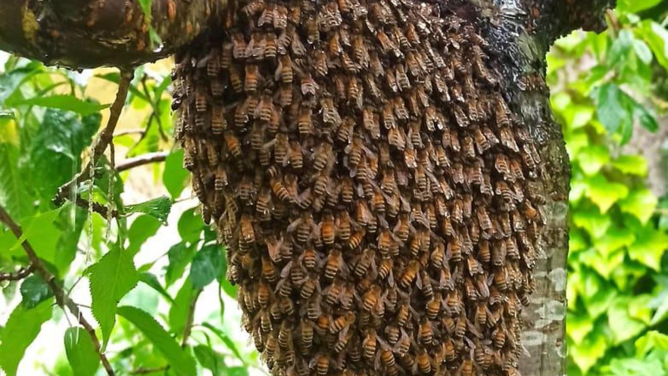 Alors qu'une ruche compte environ 40 000 abeilles, ici, l'essaim à Bourbourg comprenait près de 10 000 abeilles.