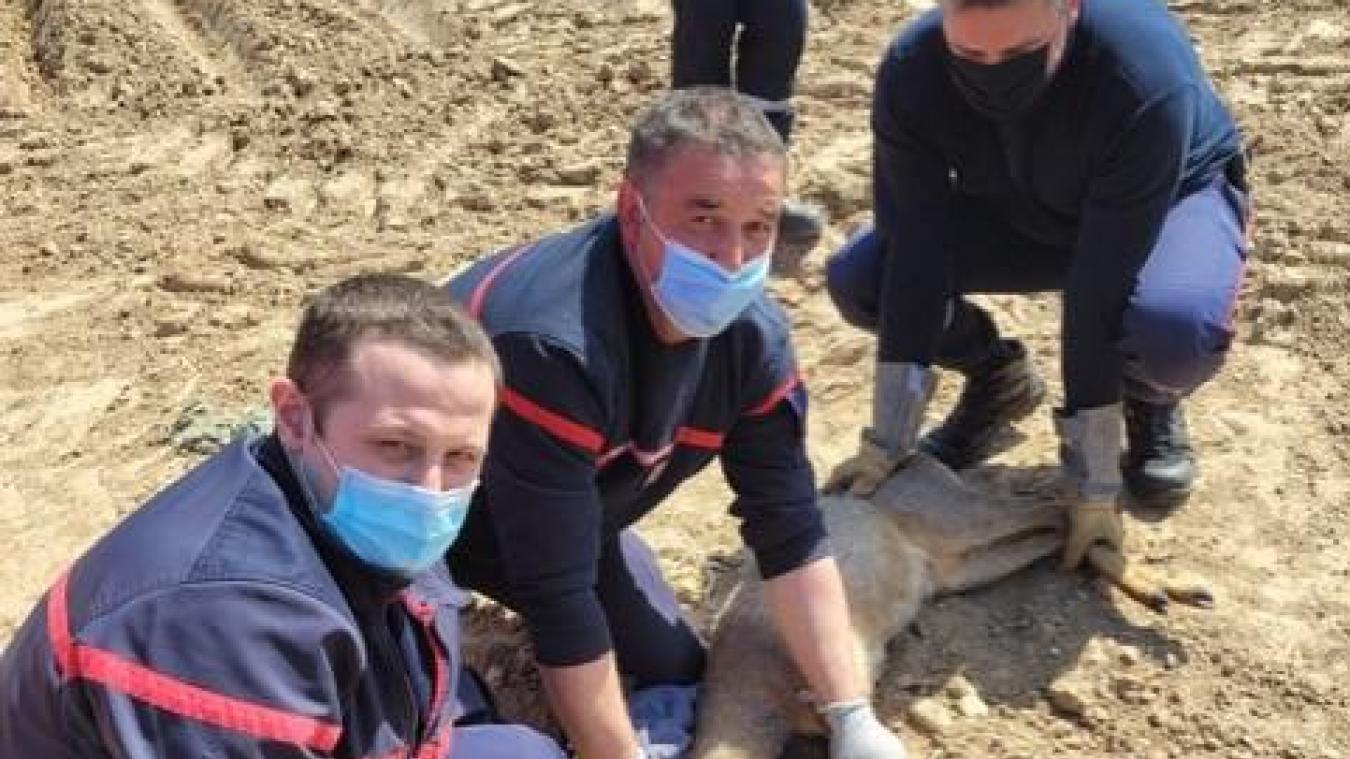Les sapeurs-pompiers d'Ardres lors du sauvetage d'un chevreuil en avril, qui leur a valu les félicitations de l'association PETA.