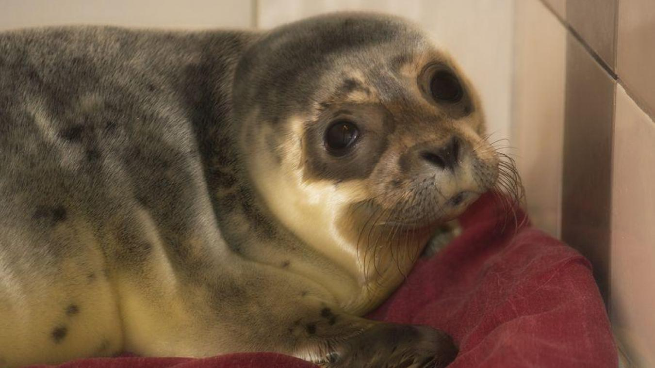 Ce bébé phoque recueilli par la LPA de Calais attend son parrain ou sa marraine