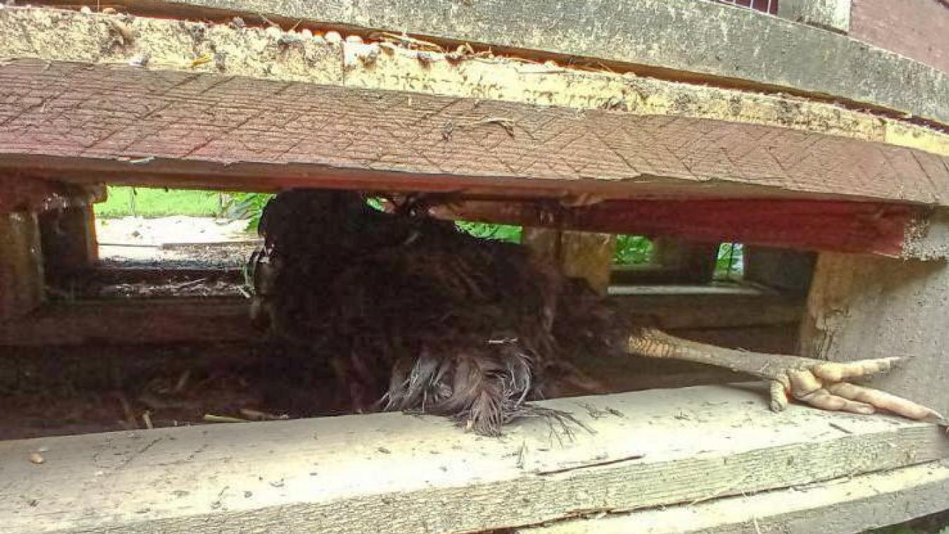 Une poule a été retrouvée morte sous les palettes.