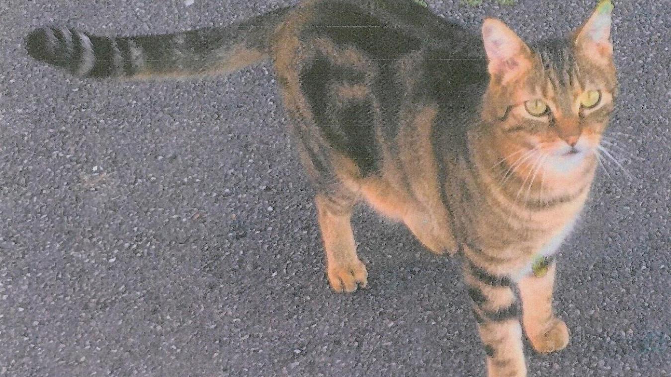 Un petit chat tigré, pucé, sociable, répondant au nom de Minou a disparu à Berck.