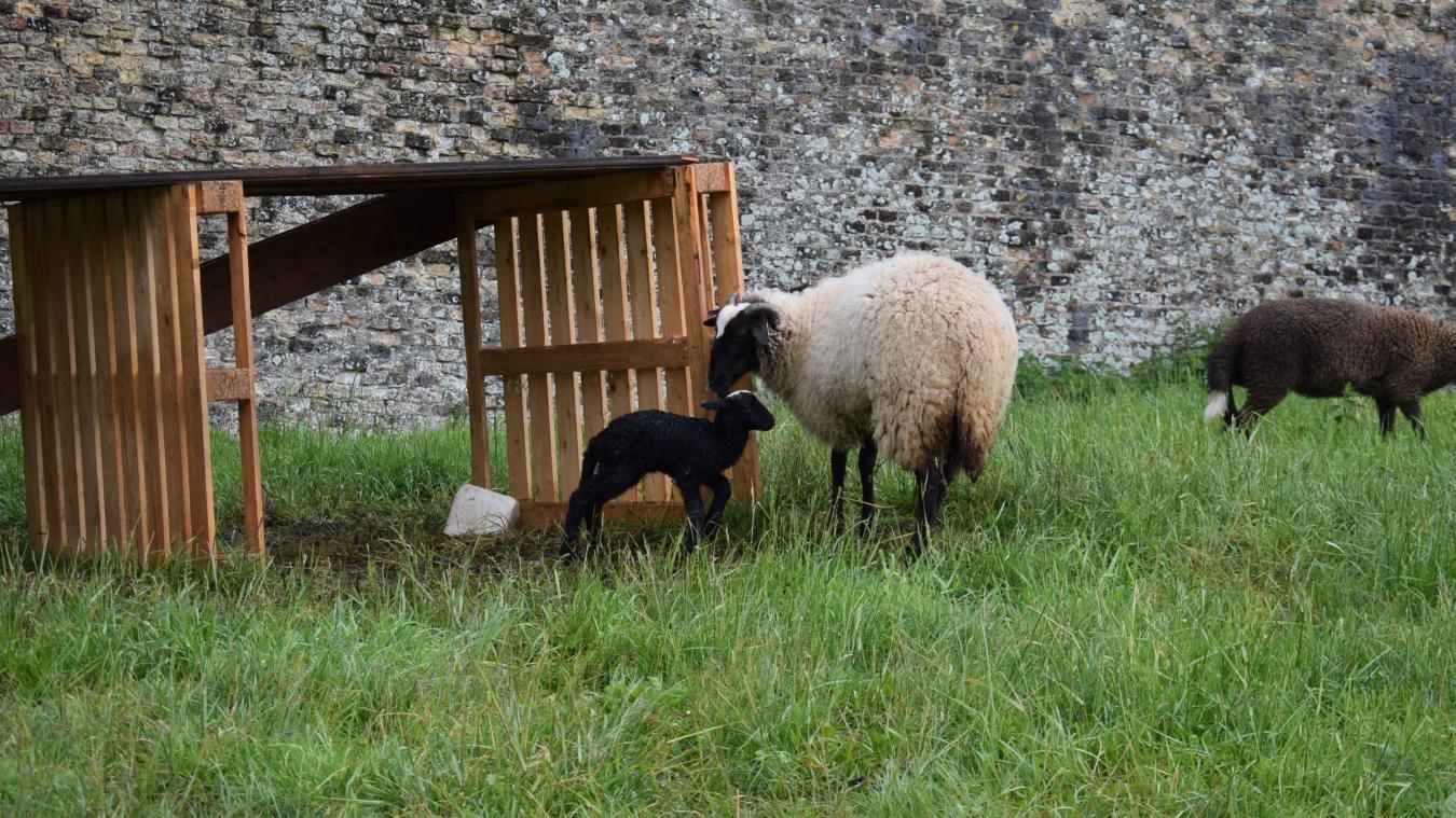 L'agneau est né début mai va mieux, mais il n'est pas encore sorti d'affaire.