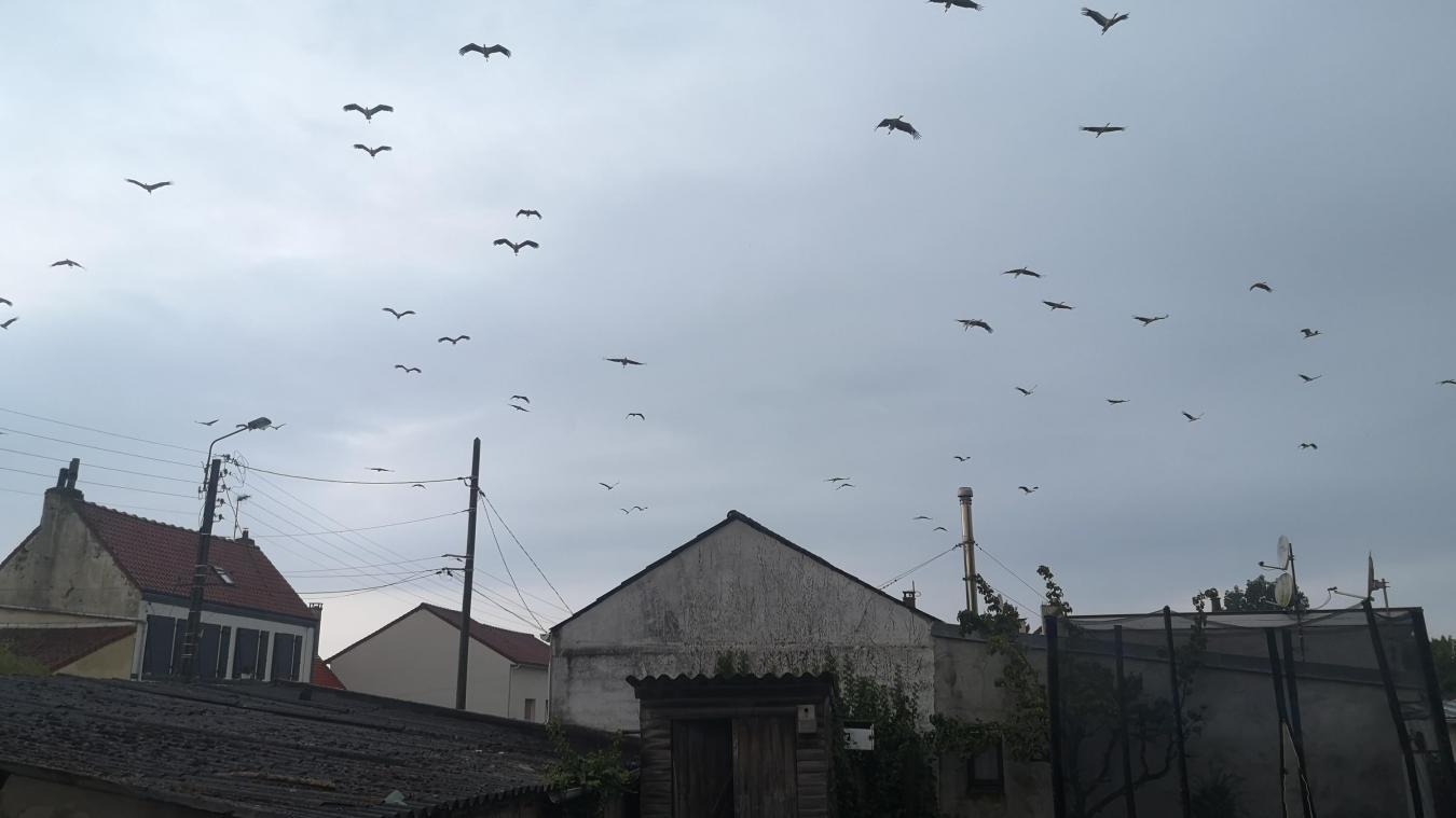 Une « invasion » de cigognes à Dannes ce week-end