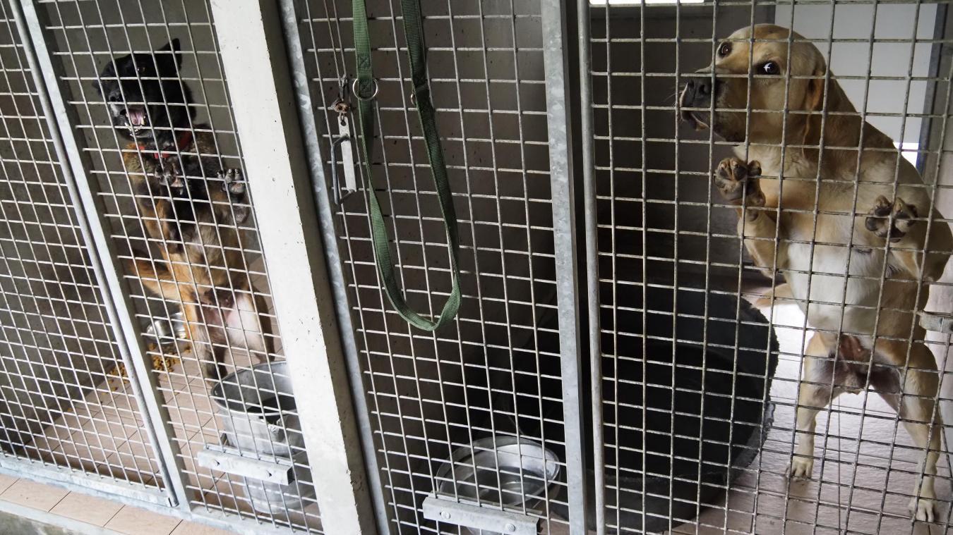 Une trentaine de chiens attendent d'être adoptés à la LPA de Calais. Certains restent deux jours, d'autres plus d'un an...