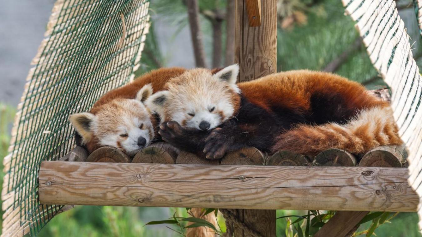 Pour aider à préserver le panda roux, le zoo de Fort-Mardyck fixe l'entrée à 1,50 euro