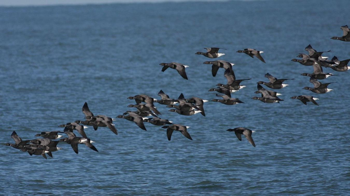 Le Dunkerquois est un point d'étape privilégié des oiseaux migrateurs. Photo Le Clipon