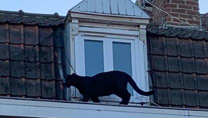 Une panthère se balade sur les toits d'Armentières (vidéo)