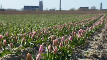 Pas de «tulipes contre le cancer» à Aire-sur-la-Lys, Saint-Omer, Hazebrouck