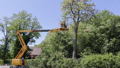 Six arbres presque centenaires ont dû être coupés à La Gorgue