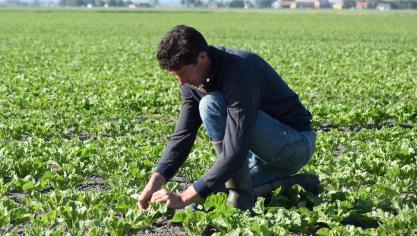 Ghyvelde - Les Moëres : il use d'insecticide pour sauver ses betteraves