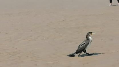 Un drôle d'oiseau sur la plage de Sangatte observé ce week-end : savez-vous ce que c'est ?