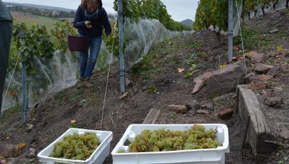 Les raisins du terril viticole d'Haillicourt cueillis en une matinée (photos et vidéo)